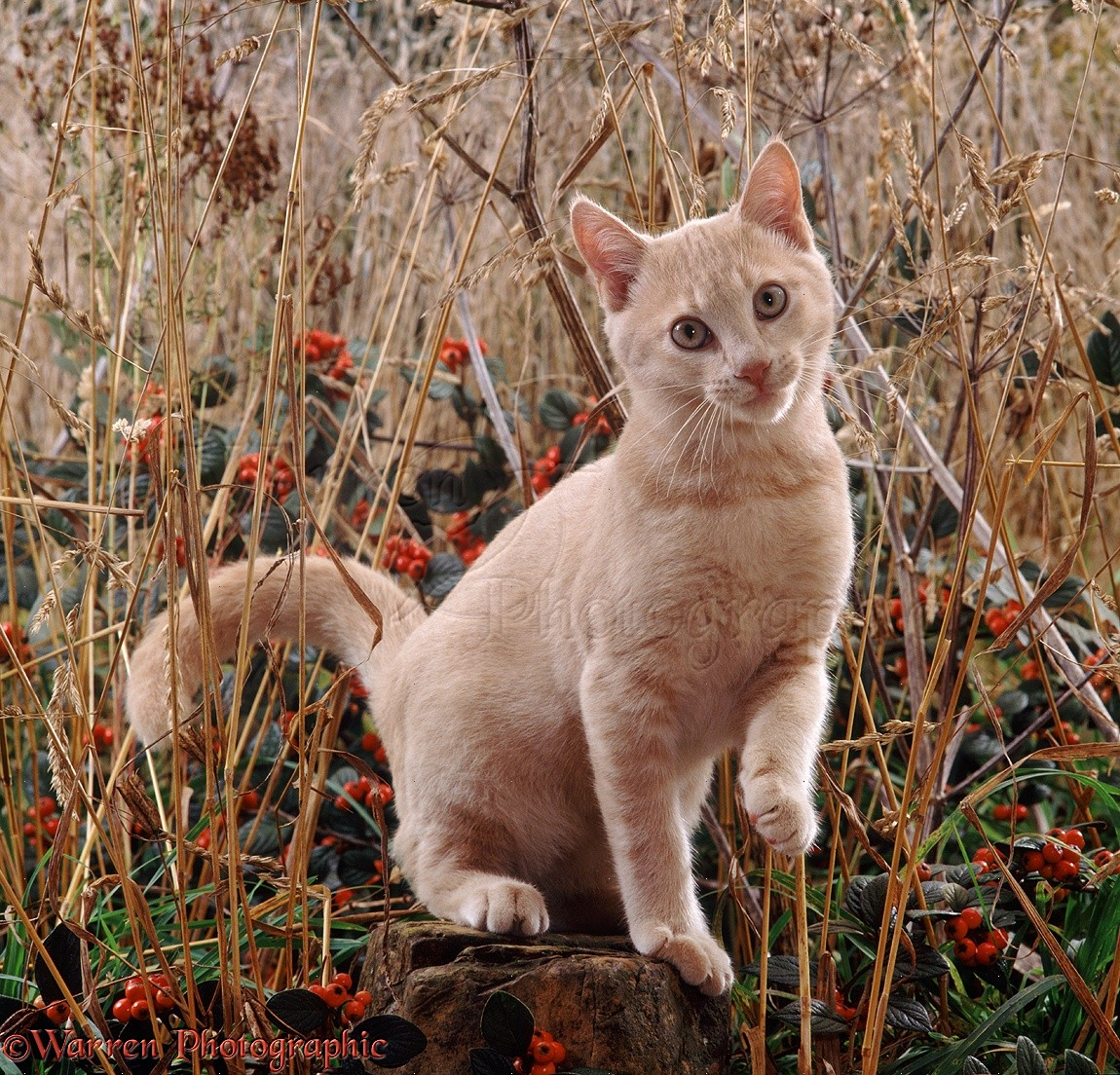 Cream Cat Among Dead Grass And Berries Photo WP11422