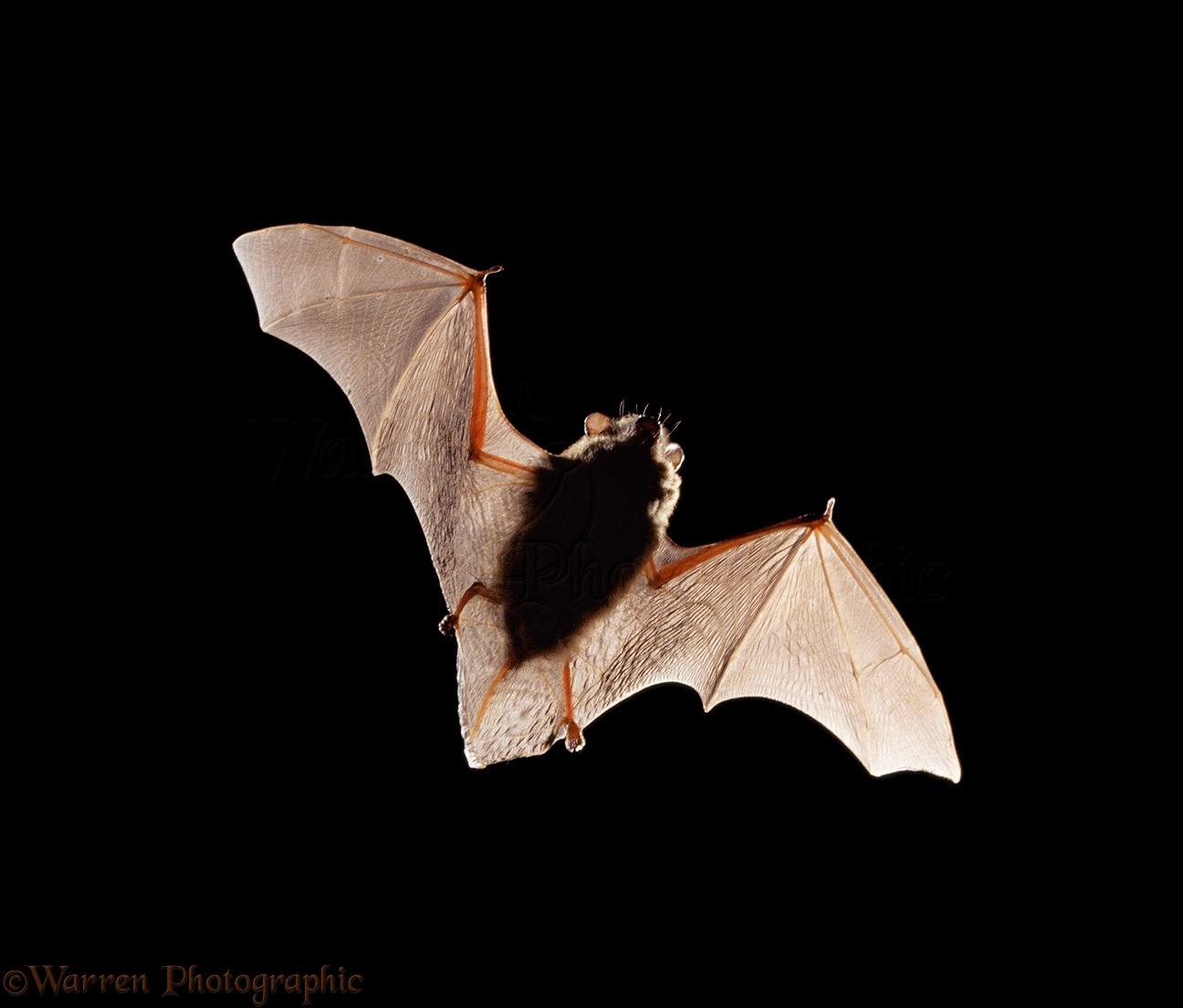 pipistrelle bat photo wp11454