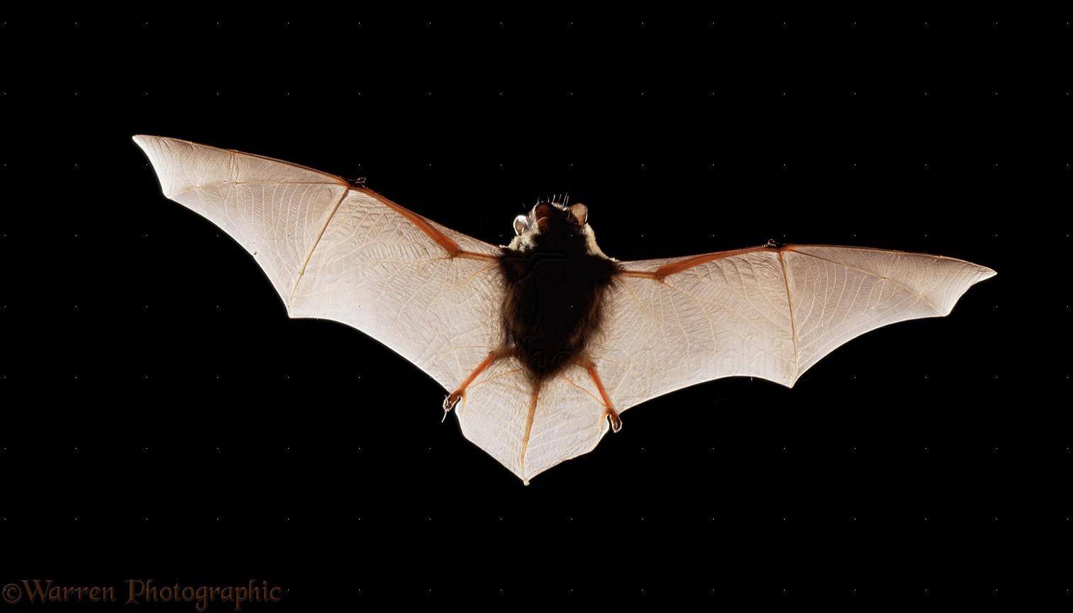 pipistrelle bat photo wp11455