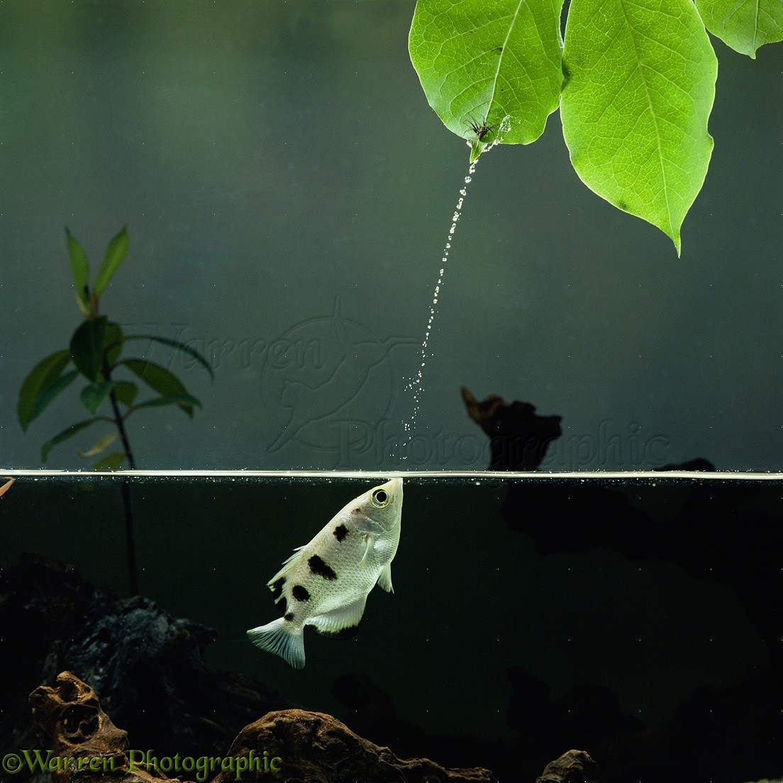 Image result for Archerfish