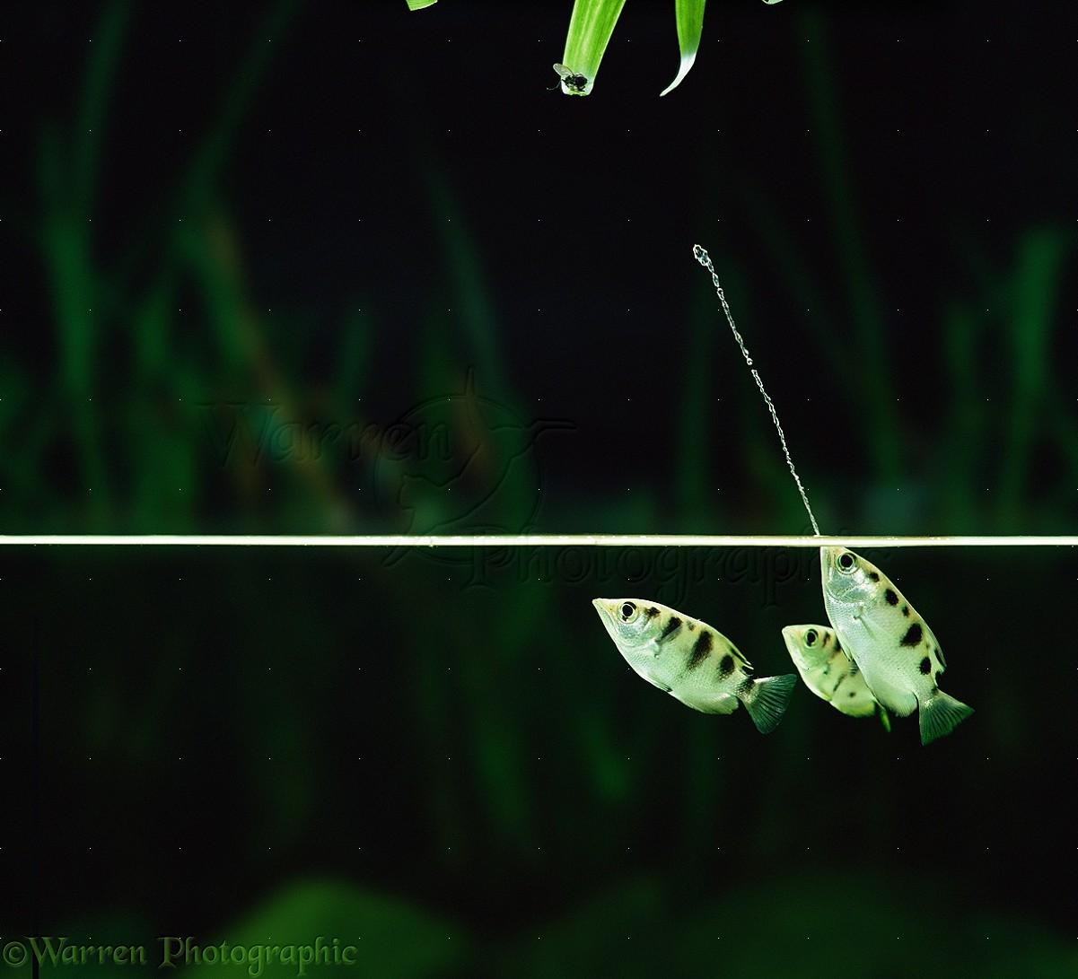 Archer Fish jetting water photo - WP11509