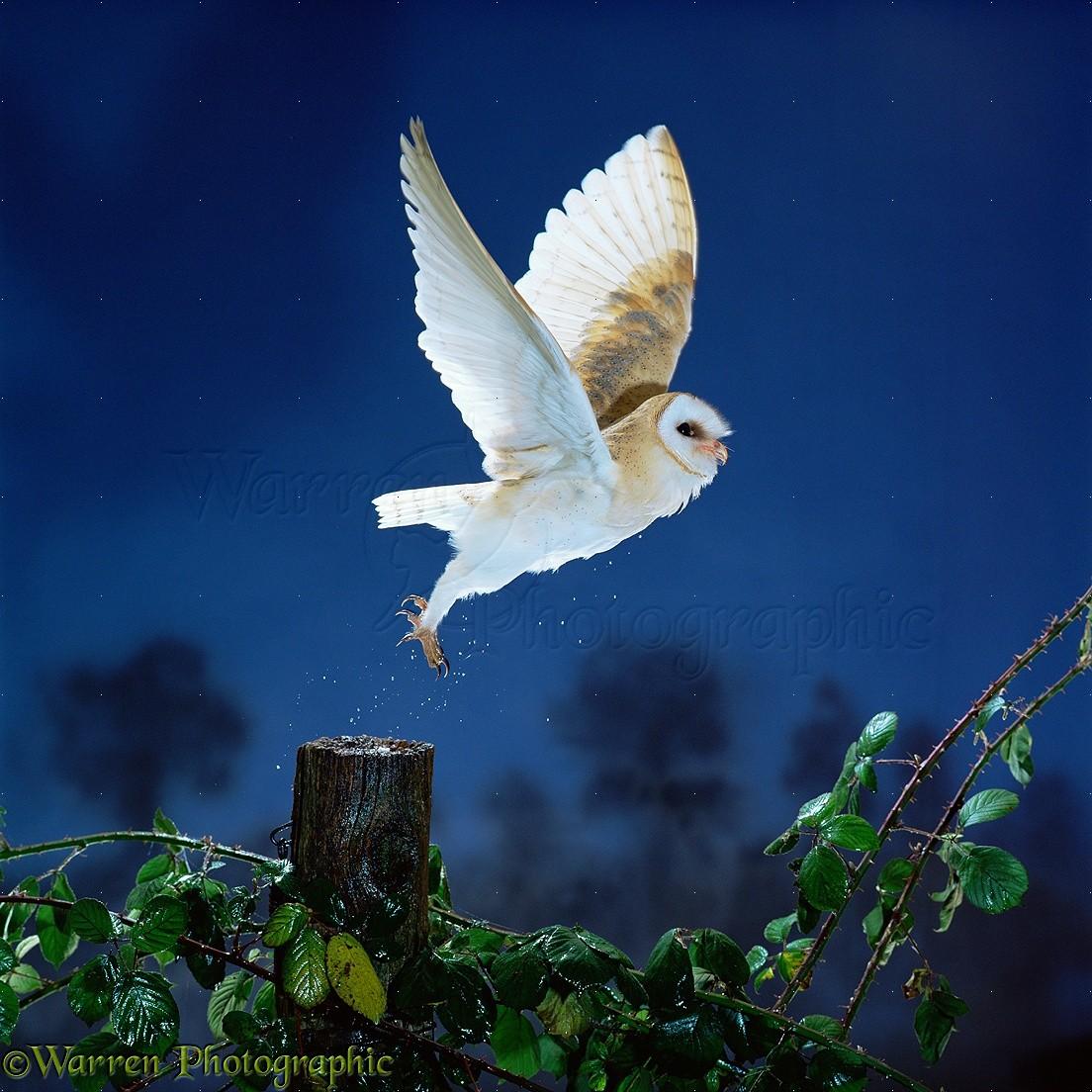 Barn Owl Taking Off Barn Owl taking...