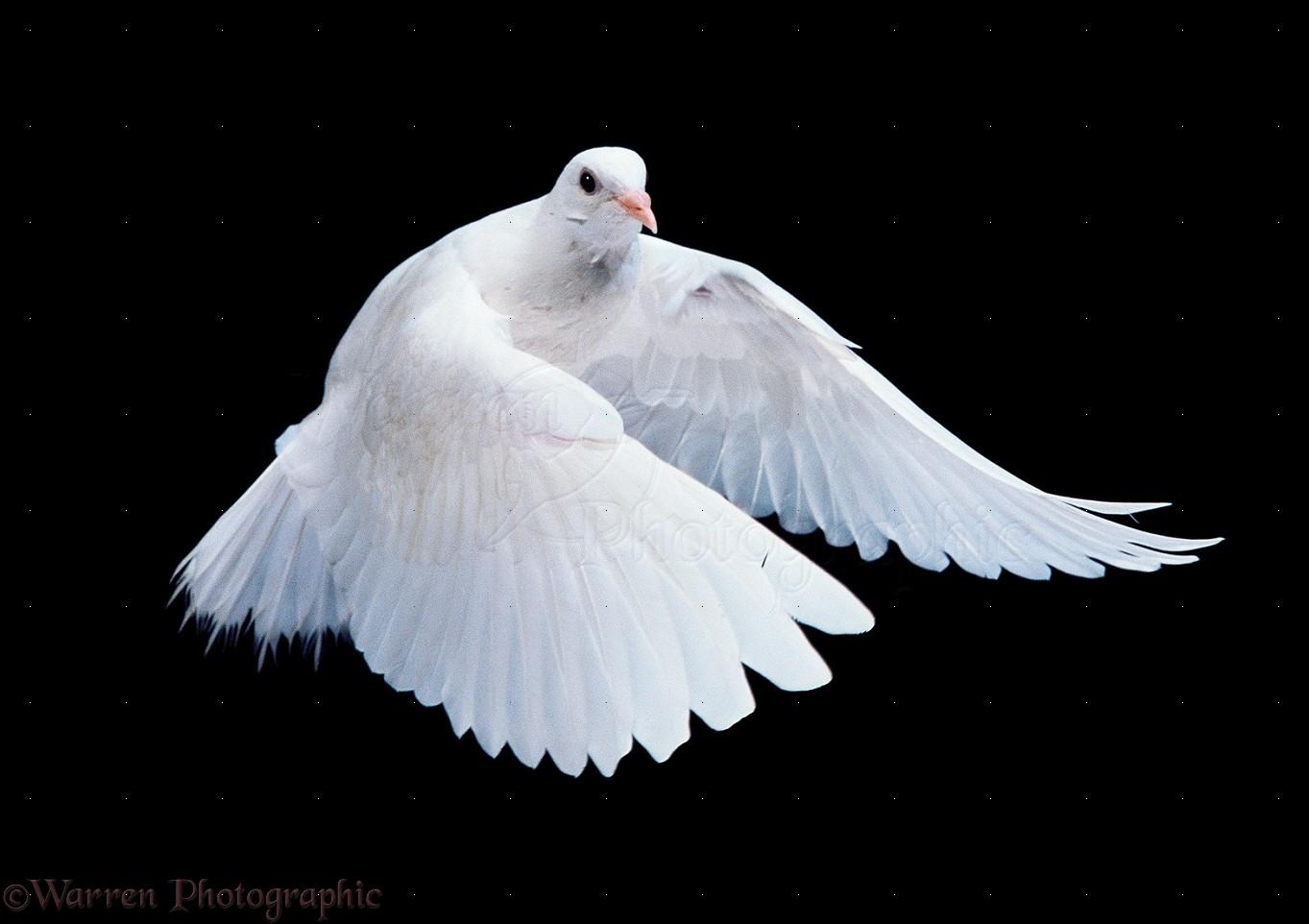 white dove in flight photo wp11589