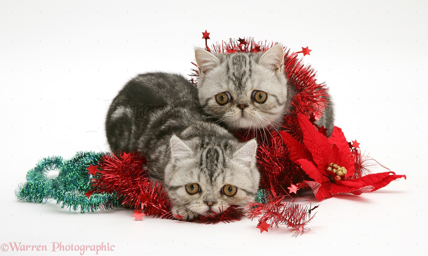 silver tabby exotic kittens with christmas tinsel photo