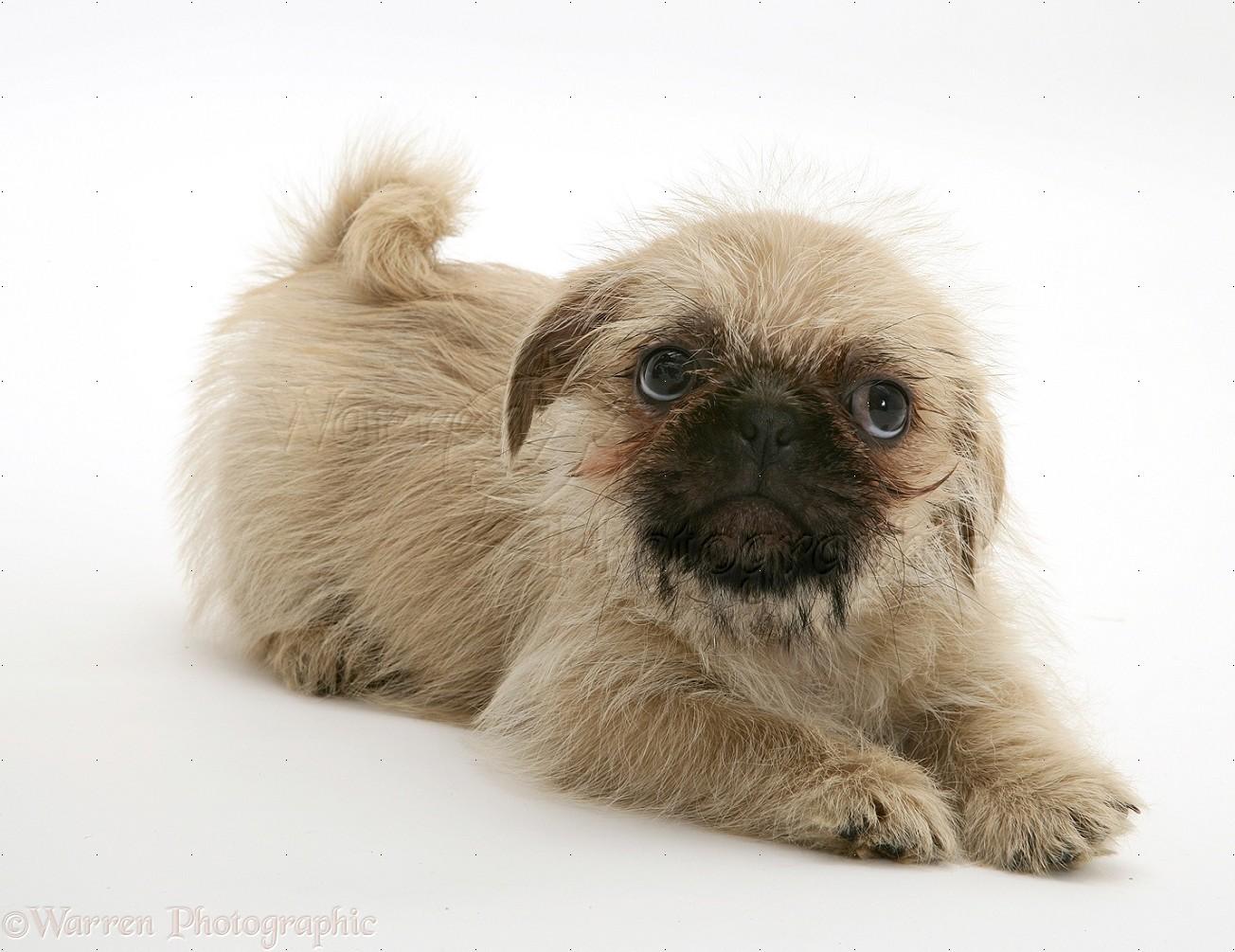 Dog: Pugzu (Pug x Shih-Tzu) pup photo - WP11653