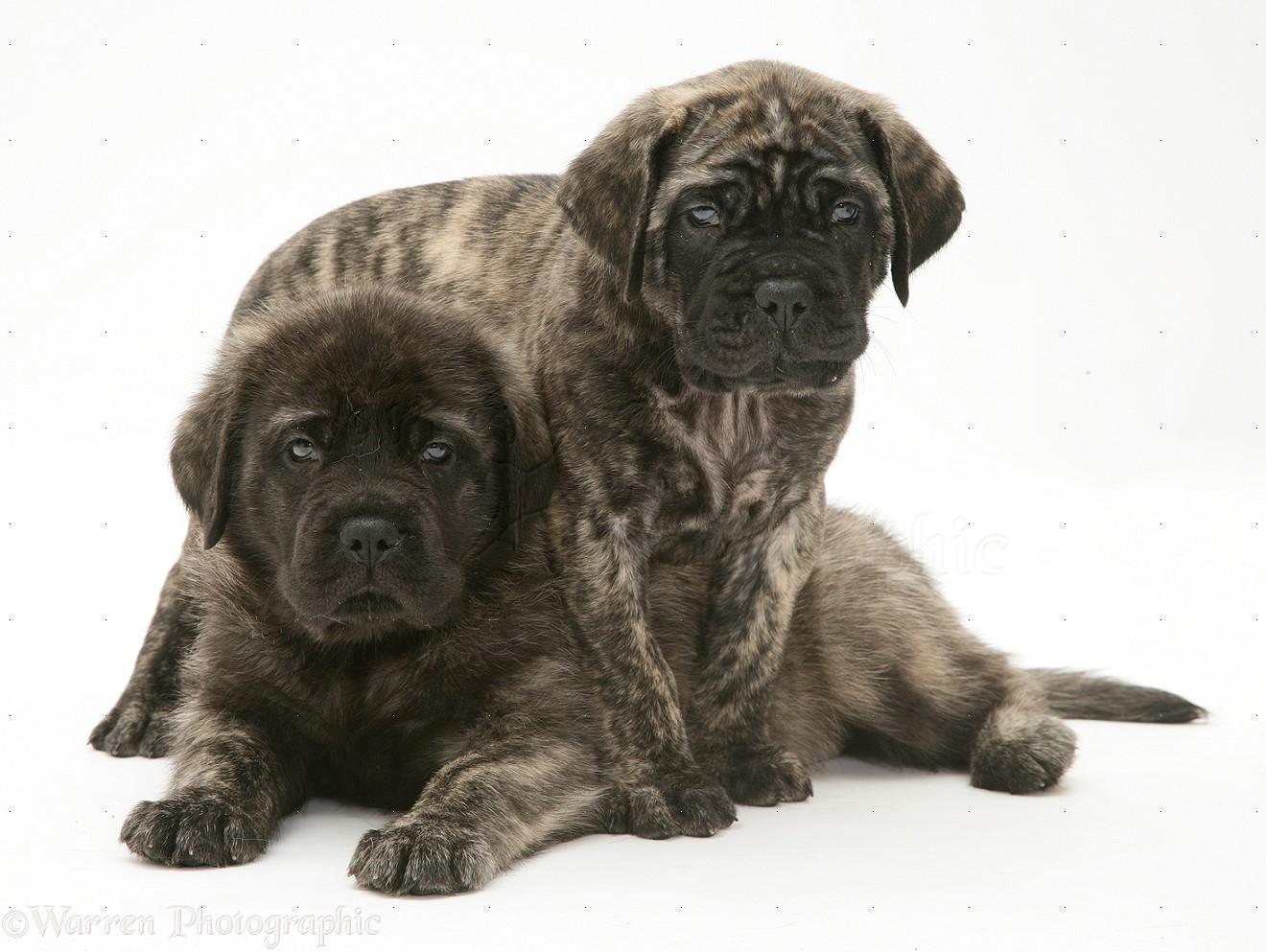 Dogs: Brindle English Mastiff pups photo - WP11668
