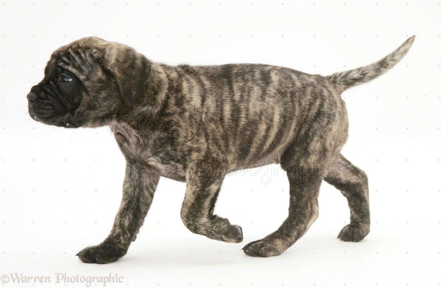 Dog: Brindle English Mastiff pup trotting across photo - WP11669