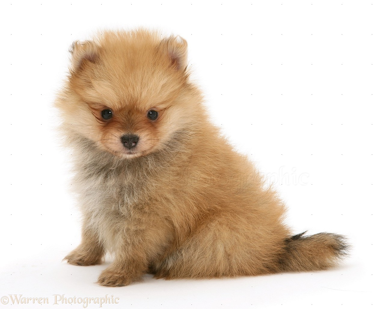 Dog Pomeranian Pup Photo Wp11702