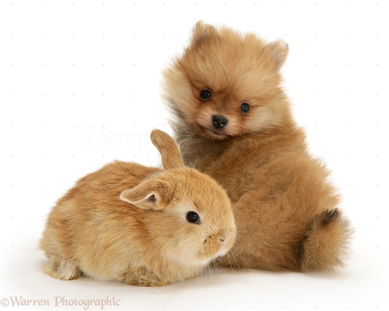 Pets Pomeranian Pup And Sandy Rabbit Baby Photo Wp11704
