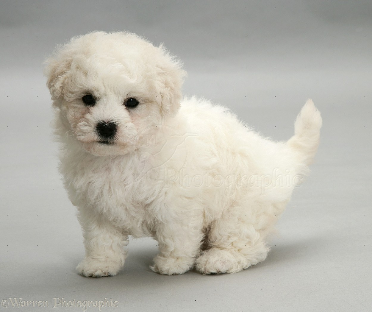 Dog: Cute Bichon Frise puppy on grey background photo  WP11717