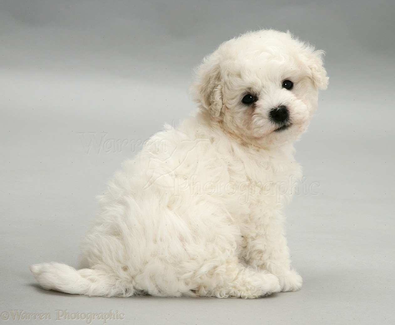 Puppy Bichon Frise Cute bichon frise puppy on