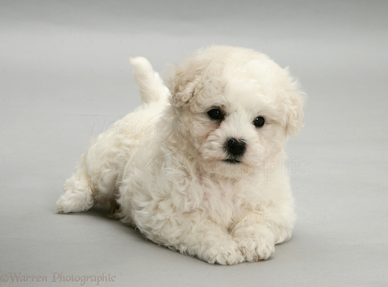 how to train bichon puppies
