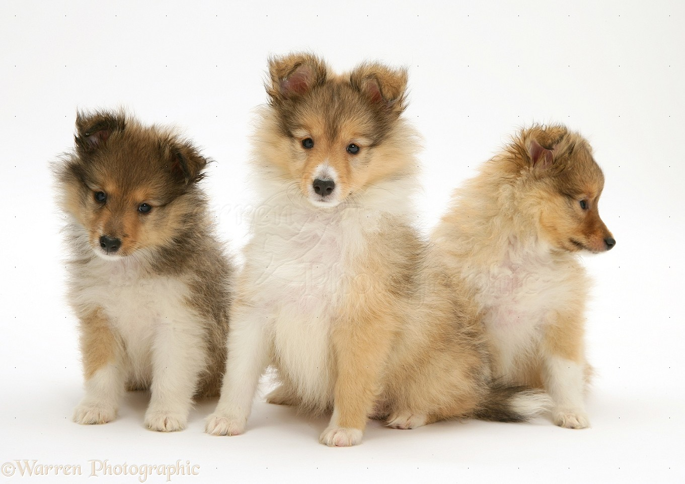 Sable Shetland Sheepdog Sheltie Pups Photo Wp11753