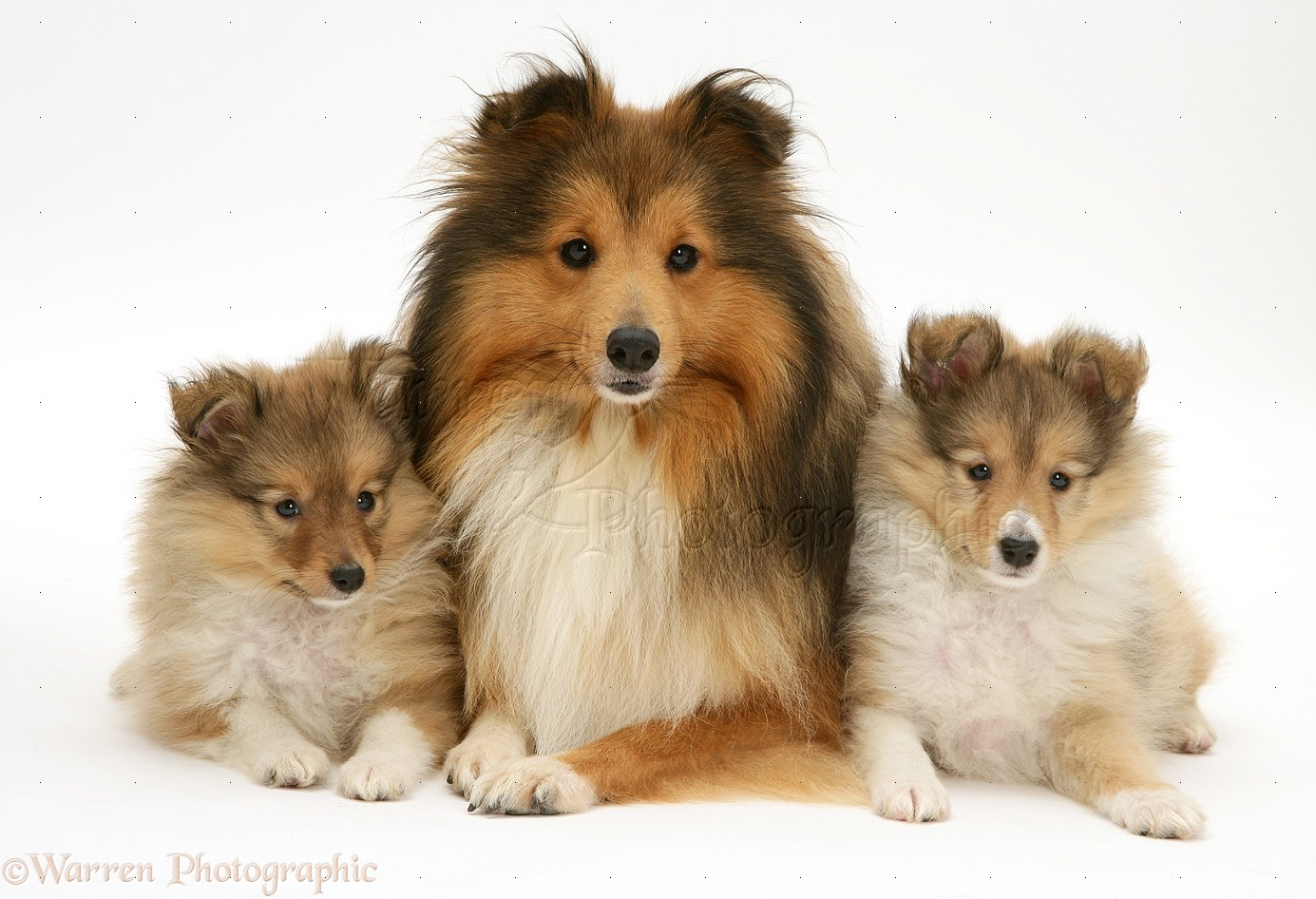 WP11759 Sable Shetland Sheepdog (Sheltie) and pups.