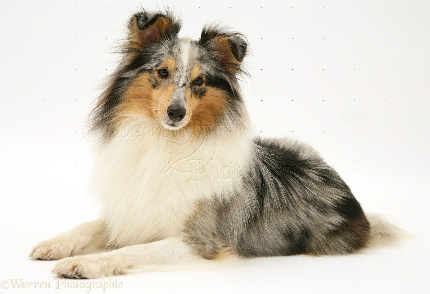 Blue merle Shetland Sheepdog (Sheltie) photo - WP11761