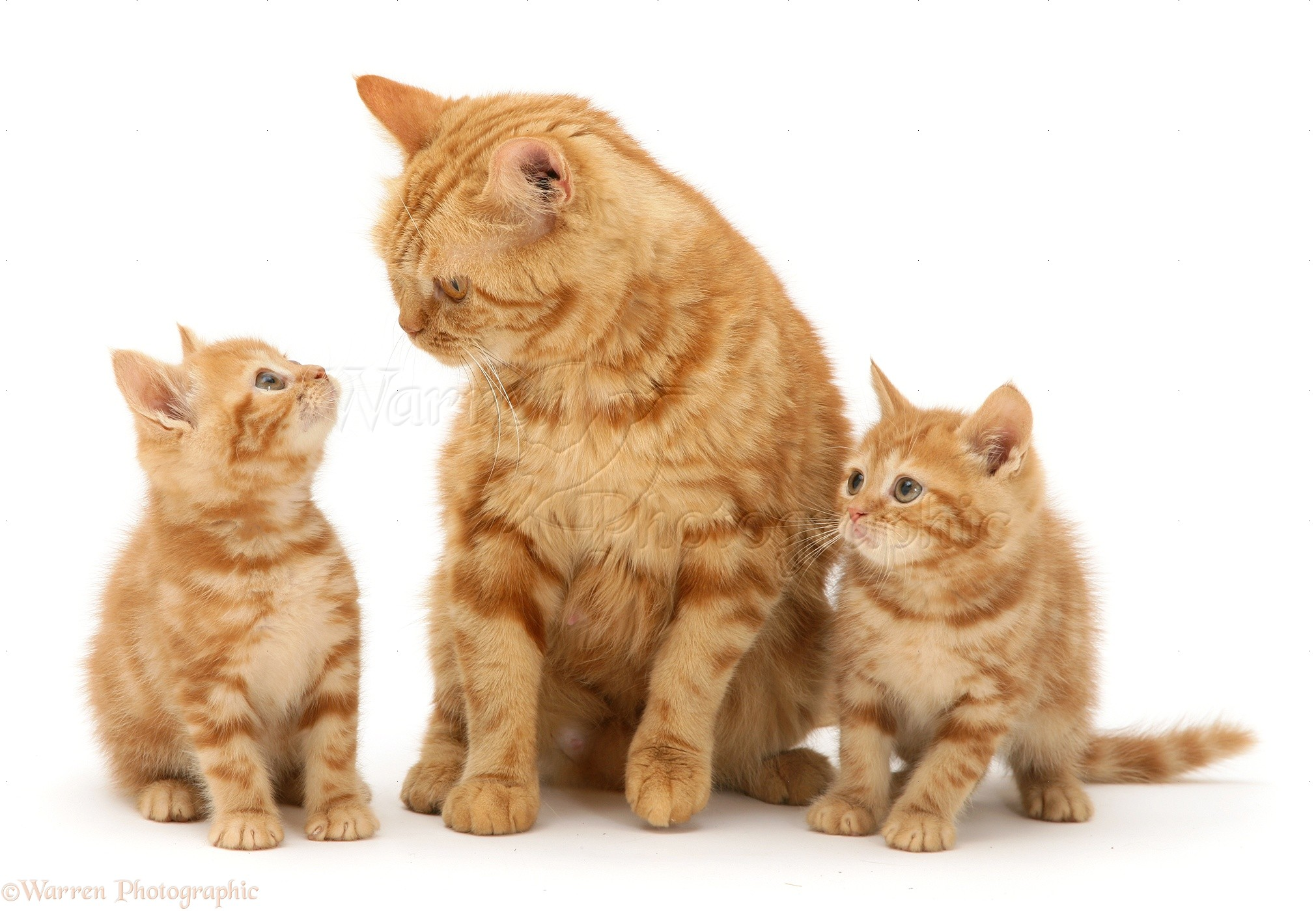 Red tabby British Shorthair mother cat and kittens photo WP