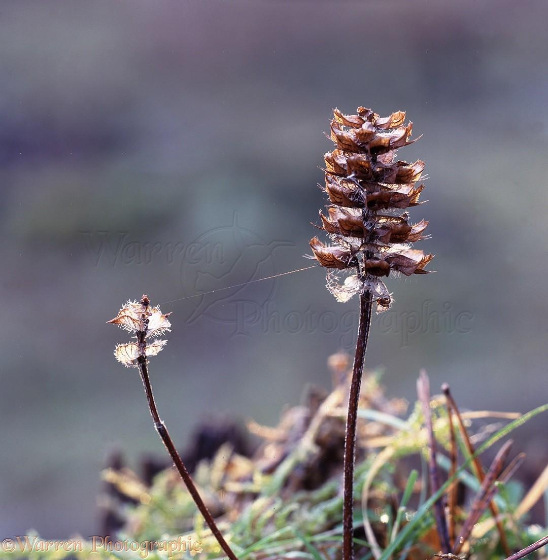 Wp11874 self heal prunella vulgaris dried seedhead in autumn
