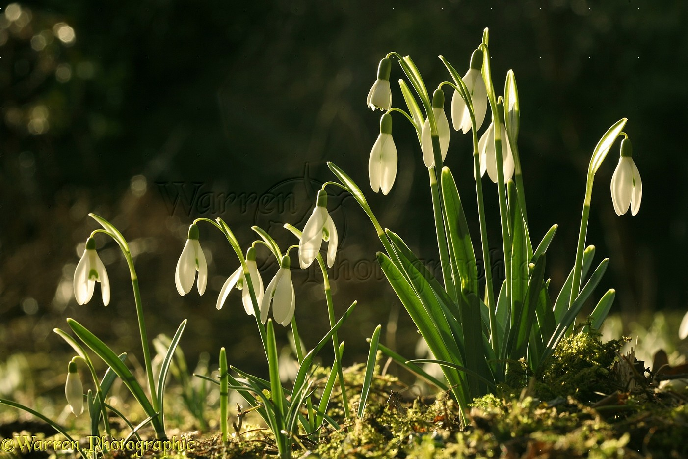 Wp11884 snowdrops galanthus nivalis in early spring sunshine