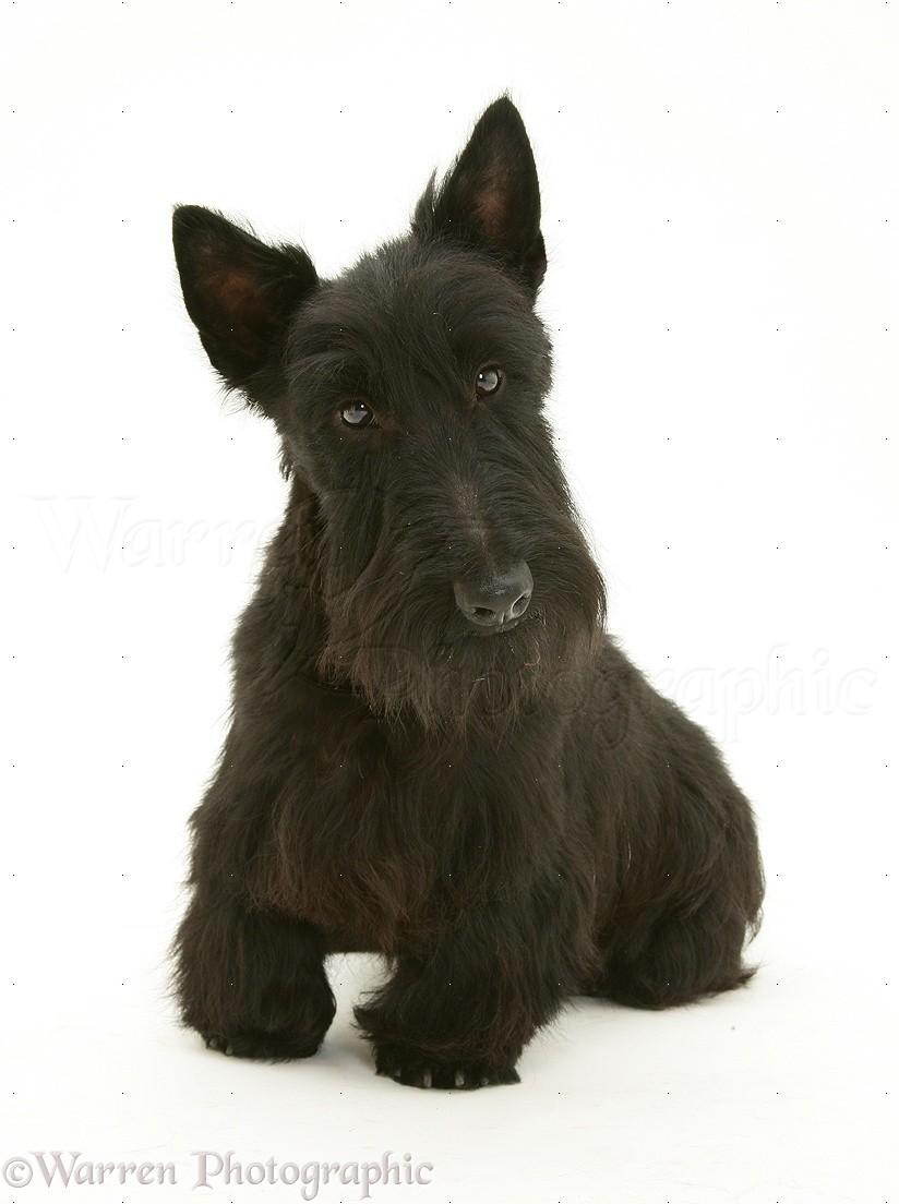 scottie dog photo wp11890