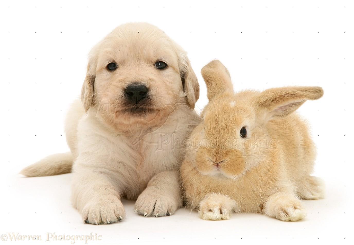 Pics Photos - Baby Golden Retriever Puppies On Golden Retriever ... Golden Retriever And Baby
