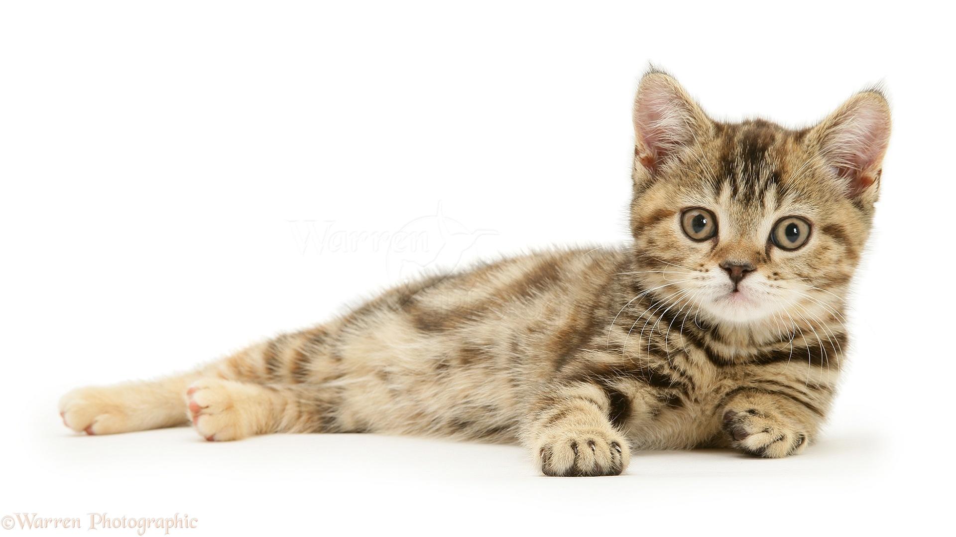 British Shorthair tabby tortoiseshell kitten photo WP