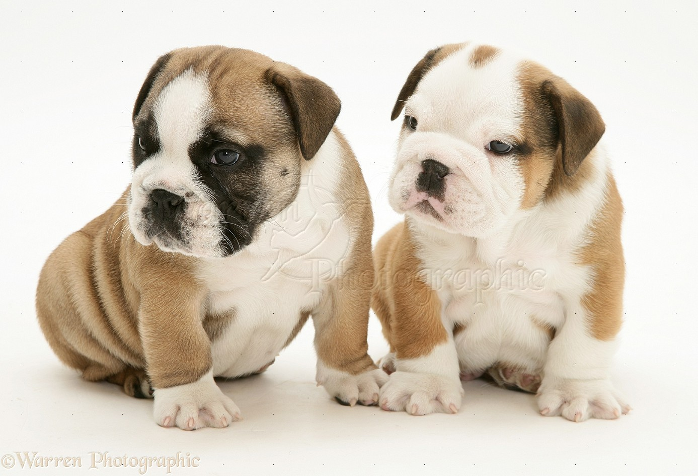 Bulldog pups photo - WP12037