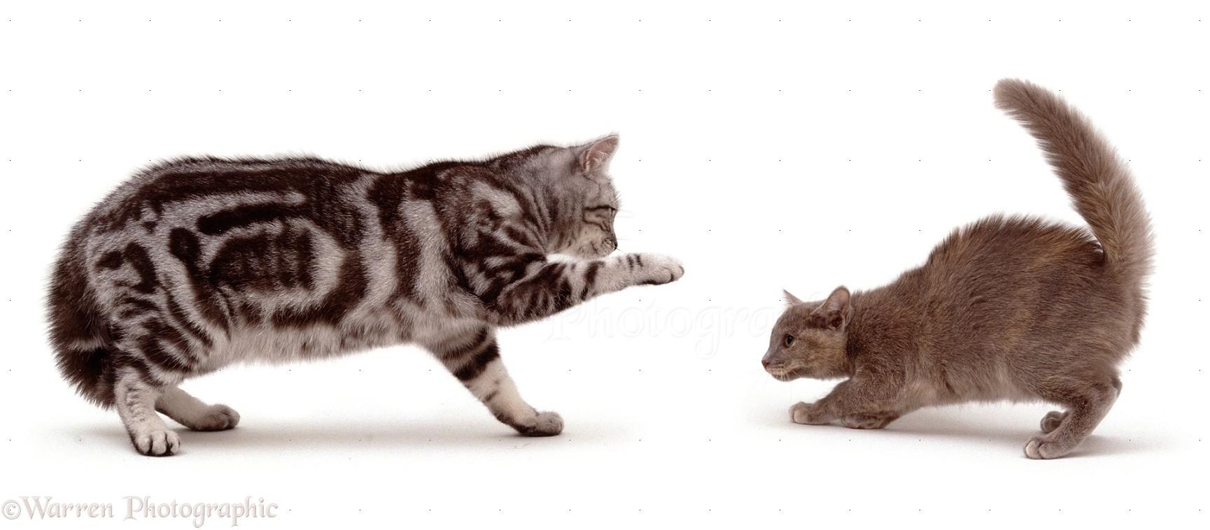 Silver tabby male cat swipes Tonkinese kitten