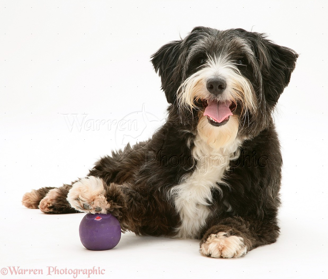 Shaggy Dog With Foot On Ball Photo Wp12090