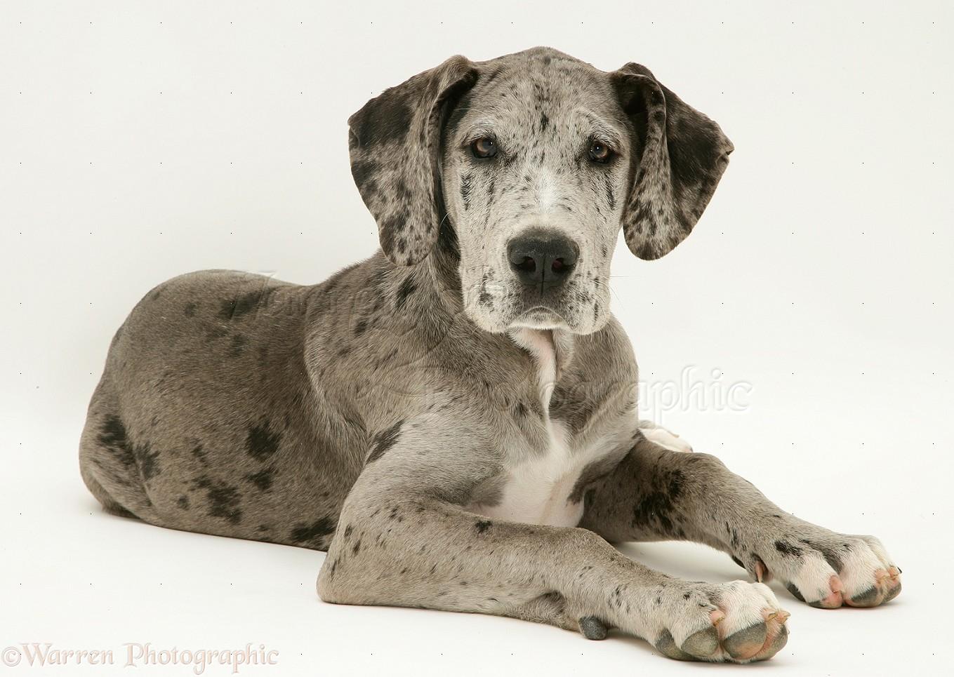 Dog Great Dane Pup Photo Wp12119