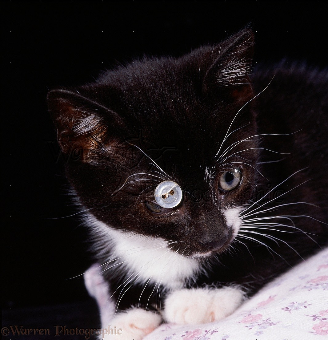 kitten with ulcerated cornea photo   wp12202