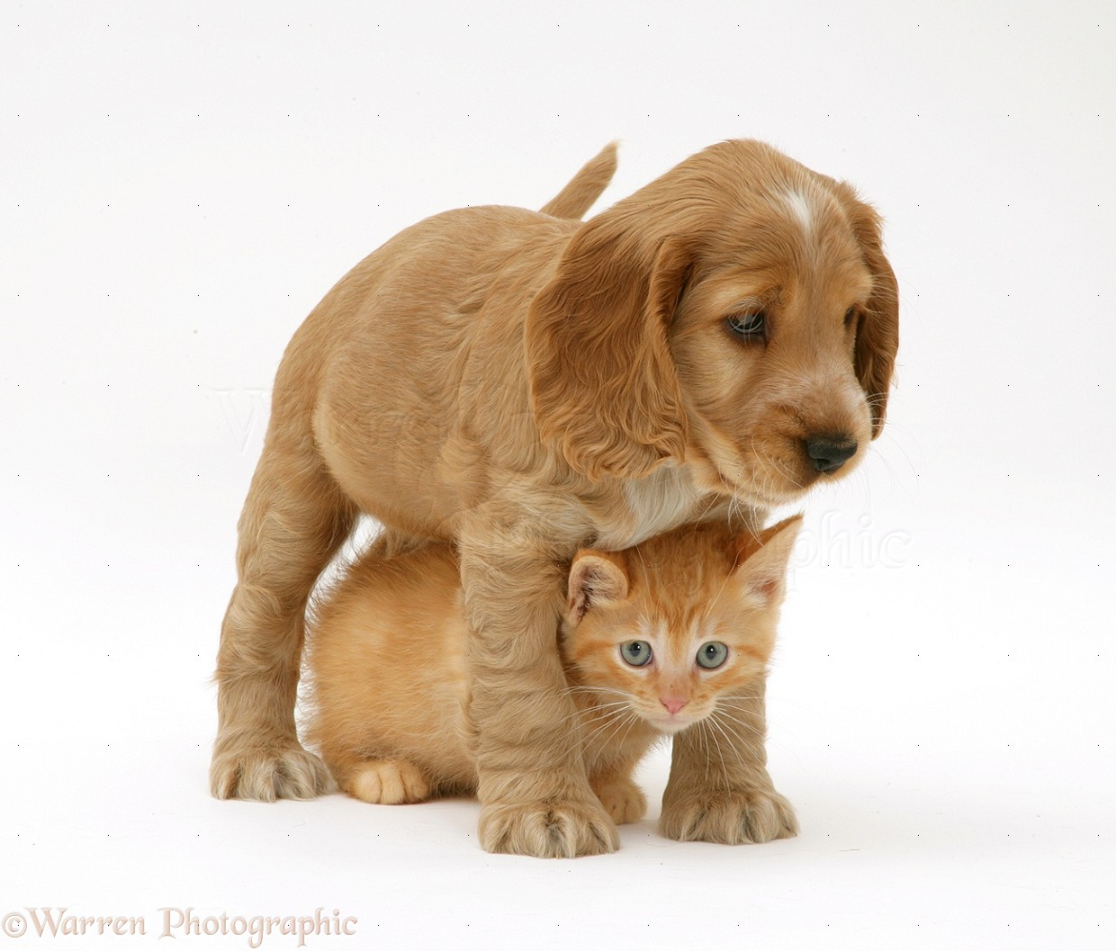 WP12382 Golden Cocker Spaniel puppy and British Shorthair red tabby ...: www.warrenphotographic.co.uk/12382-golden-cocker-spaniel-puppy-and...