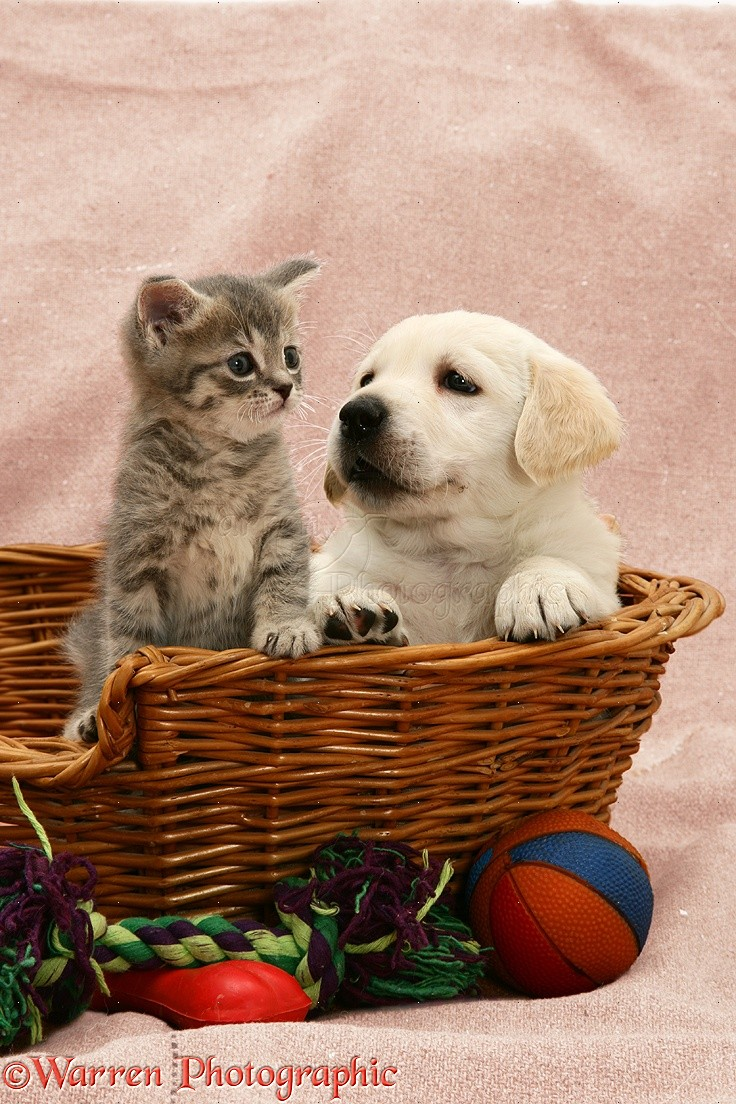 ... Retriever pup and blue tabby kitten, both 5 weeks old, in a basket