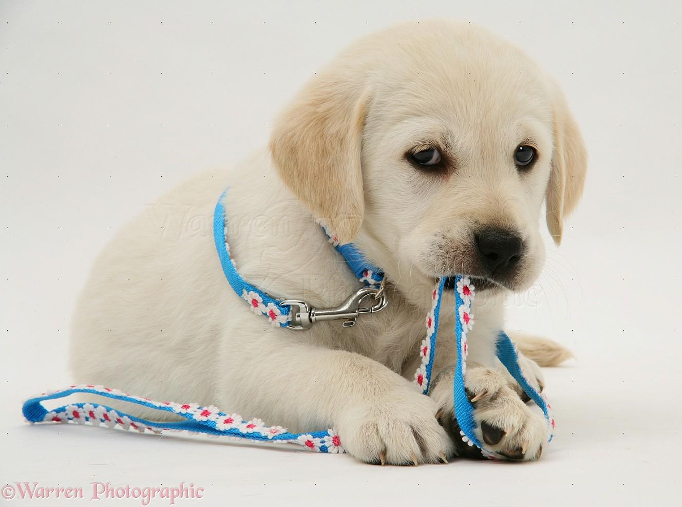 dog yellow goldador retriever pup photo   wp12614