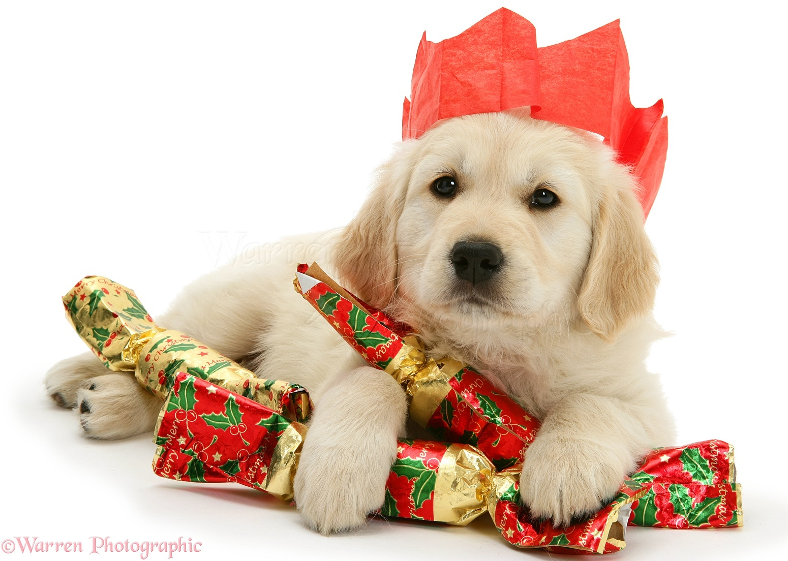 WP12627 Golden Retriever pup with Christmas crackers and paper hat.