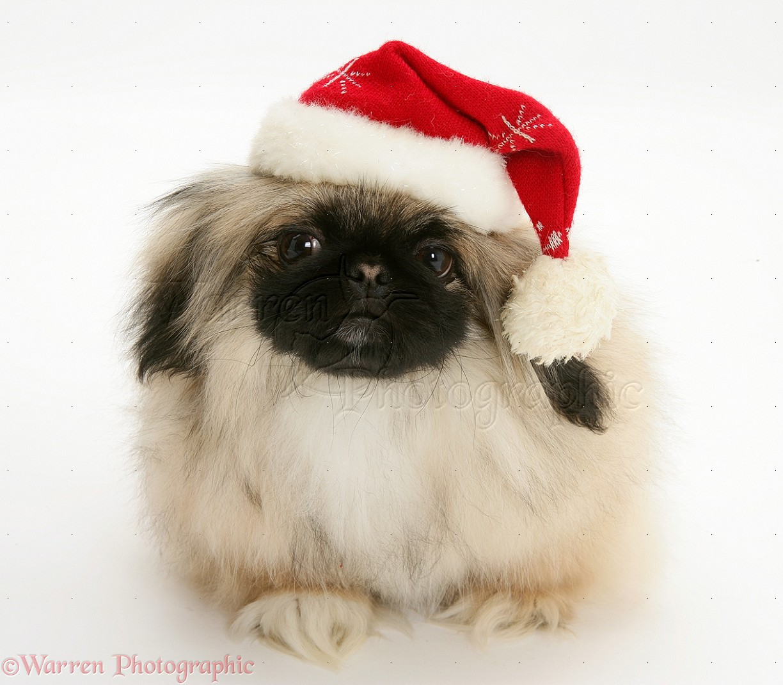 Dog pekingese pup wearing santa hat photo wp12659