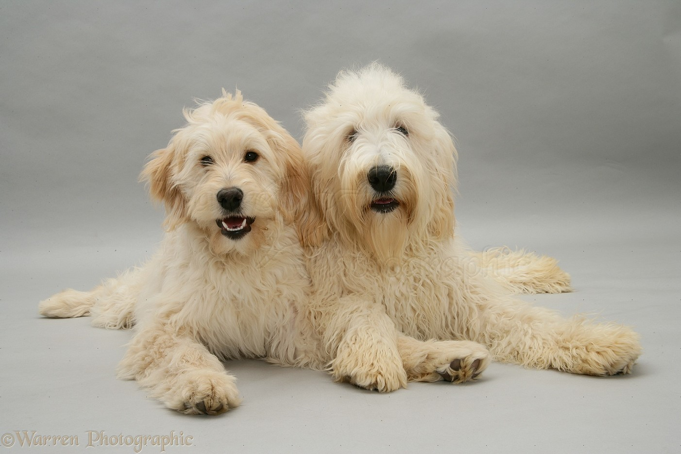 Doodle Dogs Uk