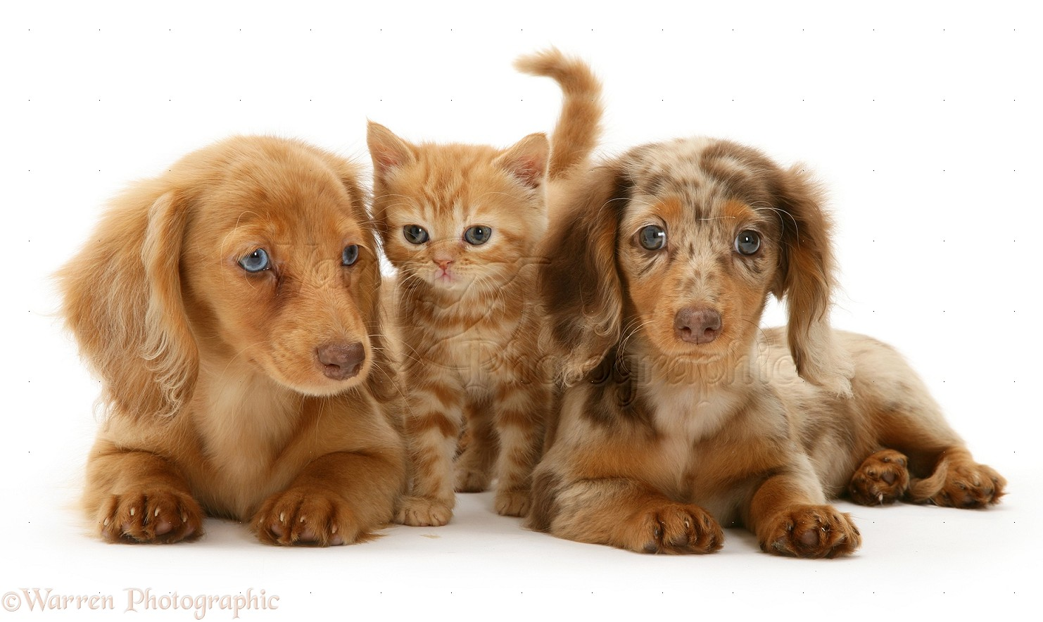 Pets Dachshund Pups And Ginger Kitten Photo Wp12712