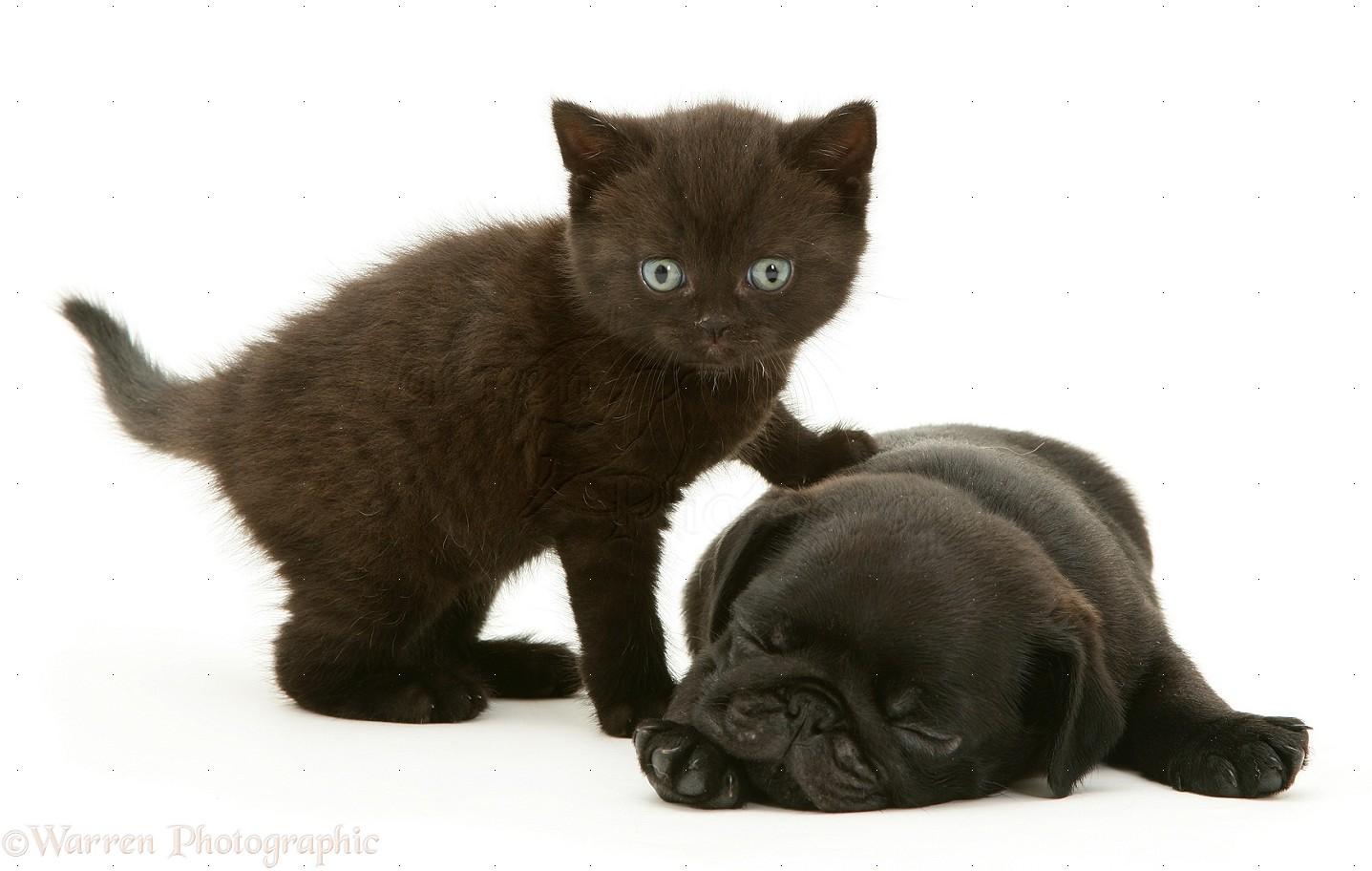 pets black pug pup with black kitten photo wp12736