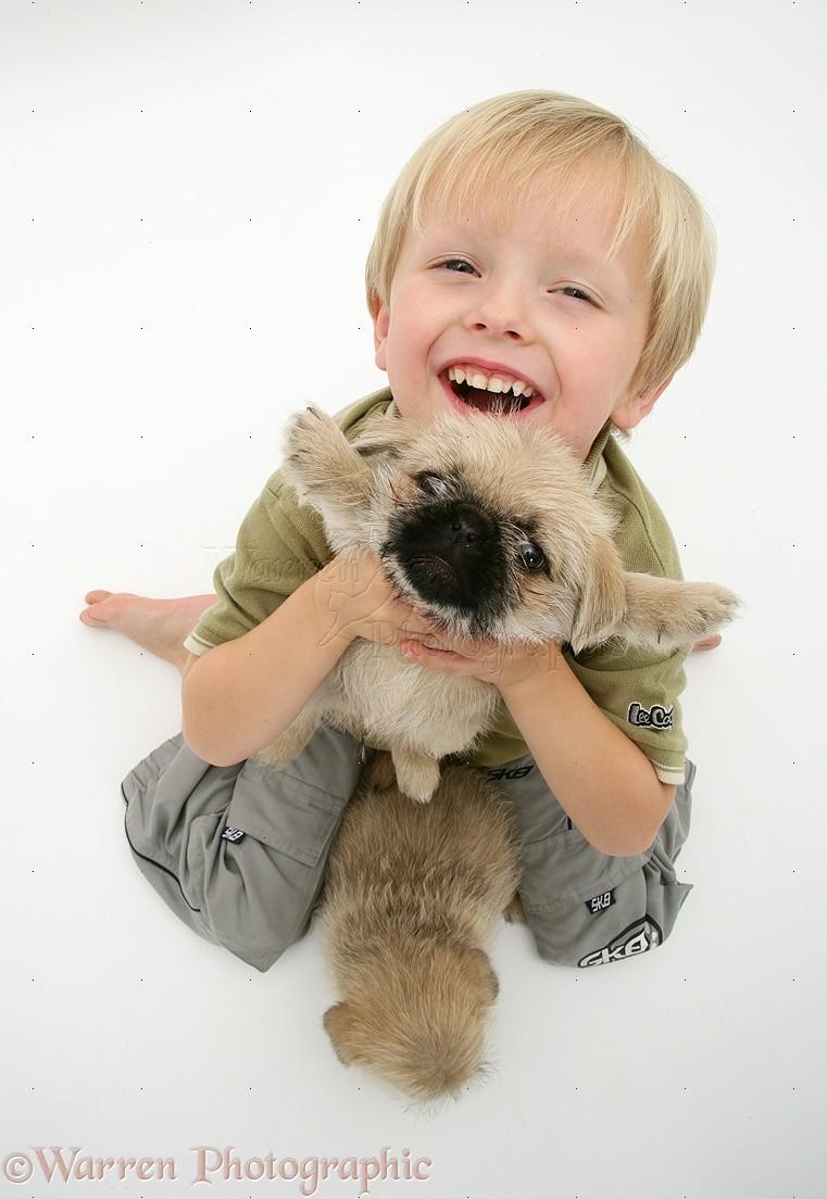 Child Holding Up Pugzu Pug X Shih Tzu Pup Photo Wp12750