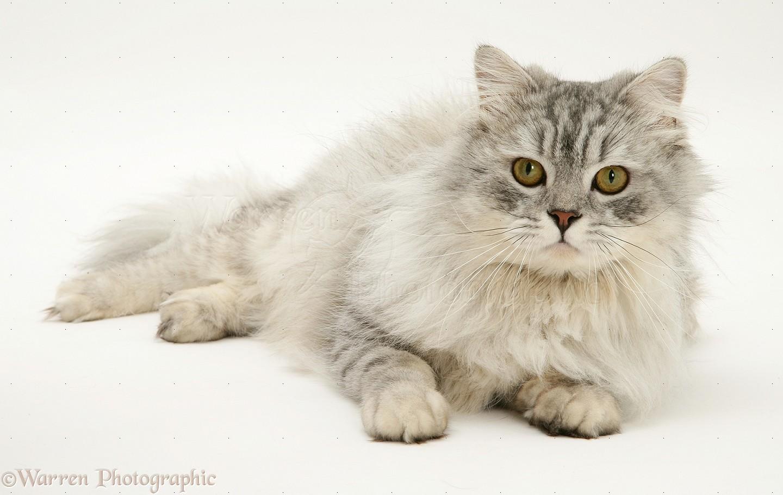 Chinchilla Persian cat photo WP