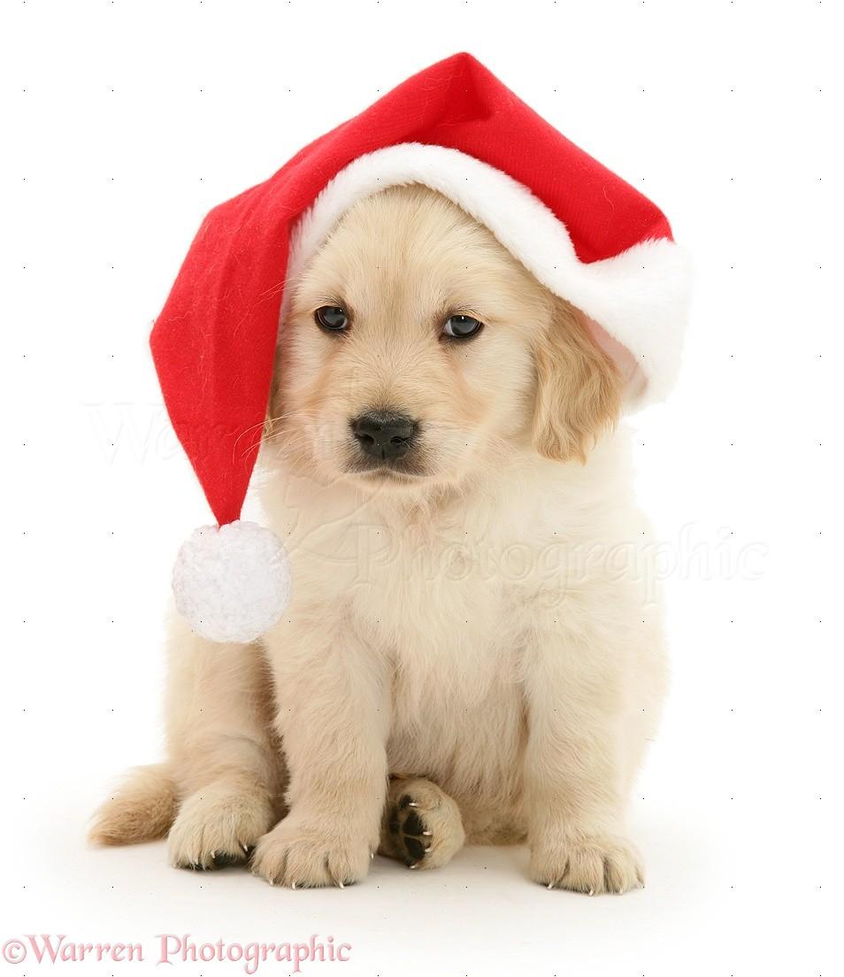 Dog golden retriever pup wearing a santa hat photo wp