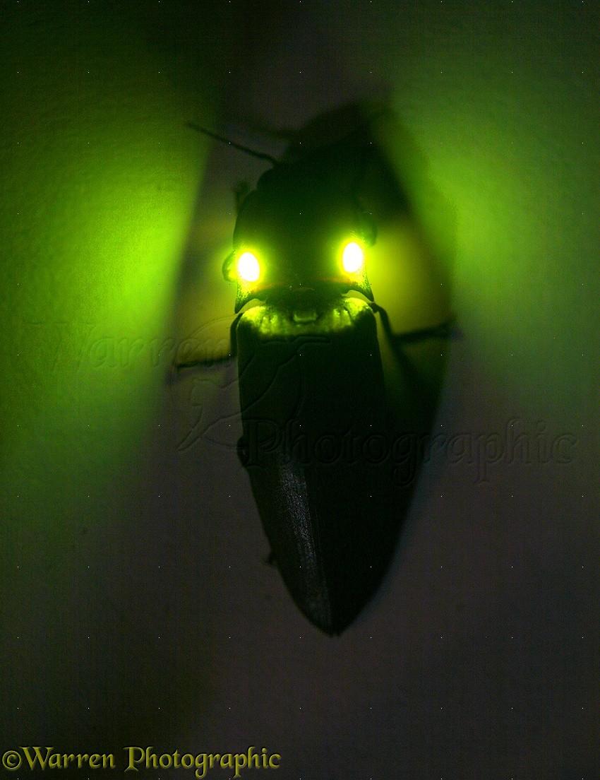 Luminous Click Beetle Photo Wp12837