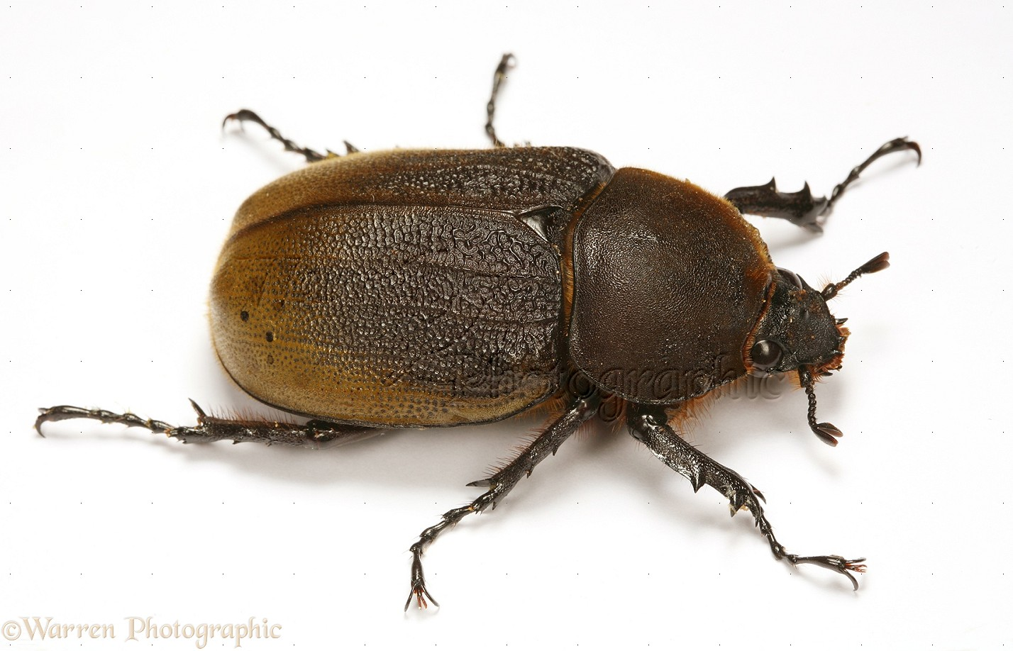 how to know if the beetle is a rhinoceros beetle