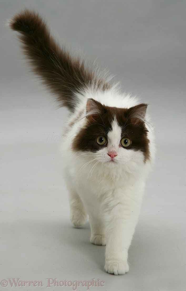 Walking Cat Videos