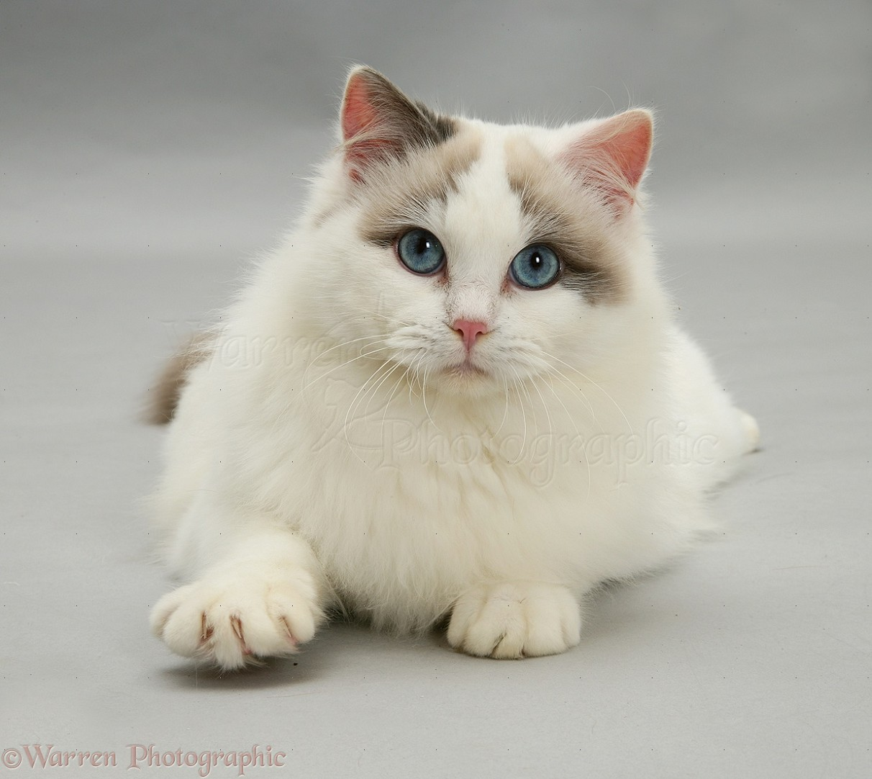 CFA Cat Breeds