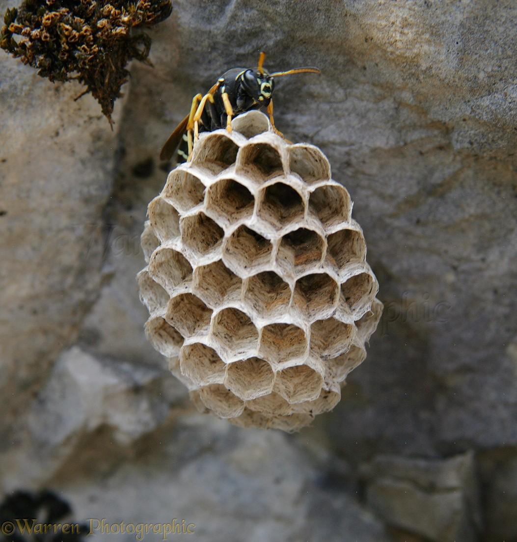 WP12950 Polistes Wasp on nest.
