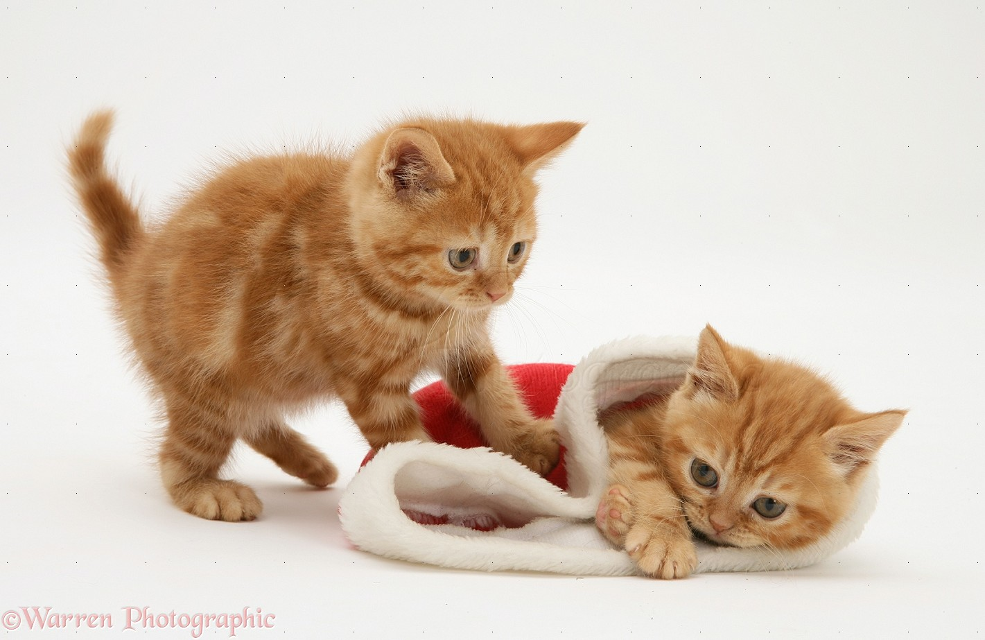 Wp13001 red tabby kittens playing with a father christmas hat