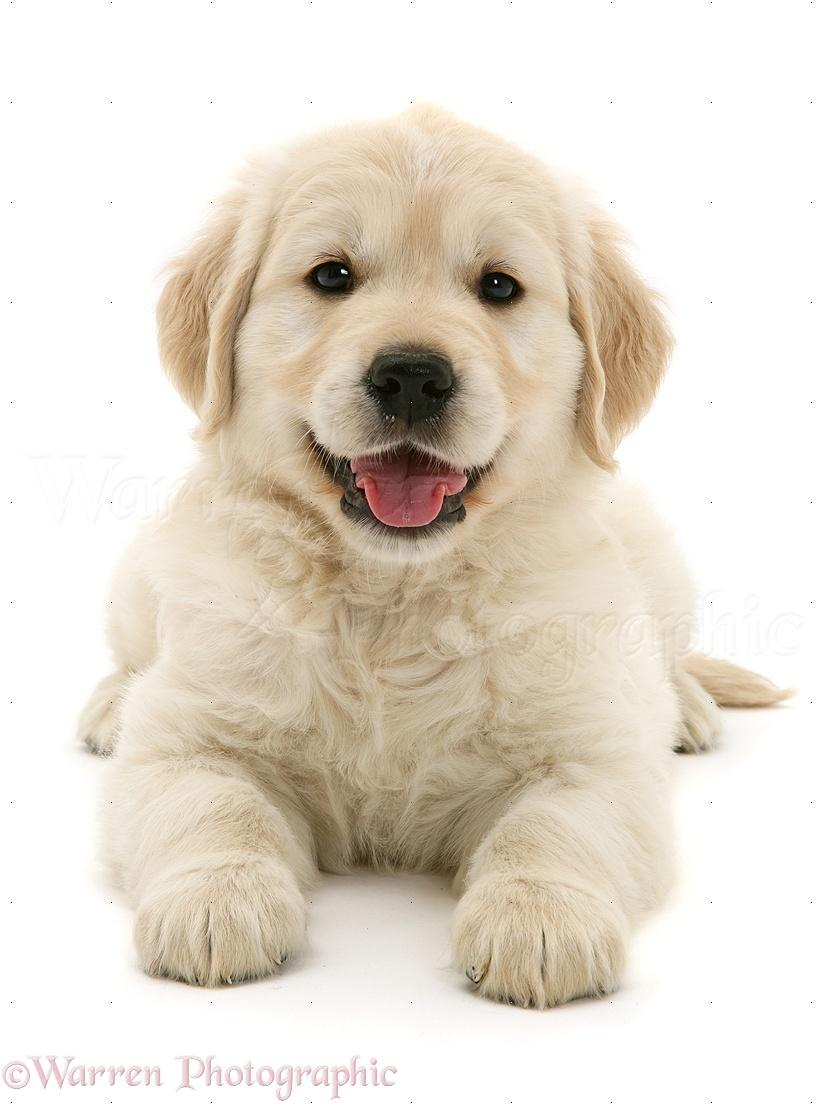 Dog Golden Retriever Puppy Photo Wp13015