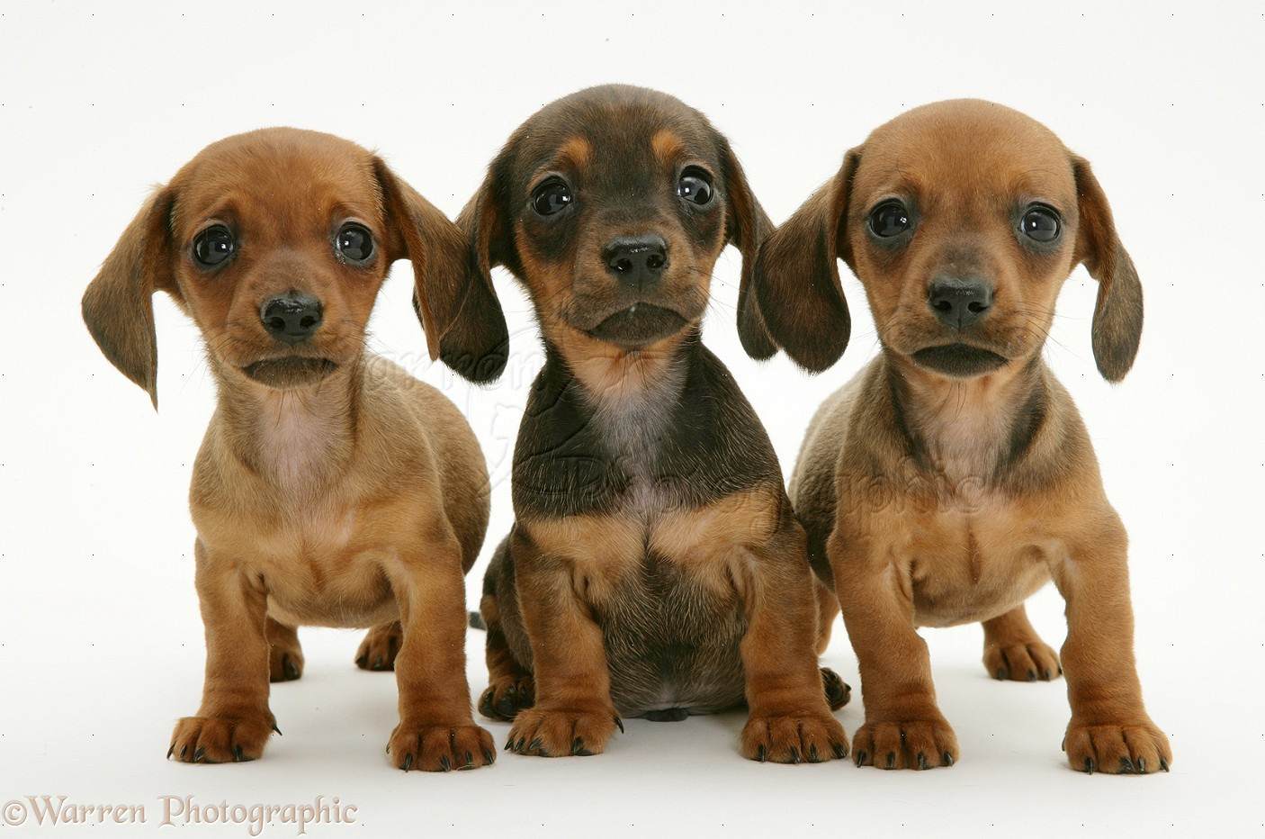 Weenie Dog Puppies For Sale