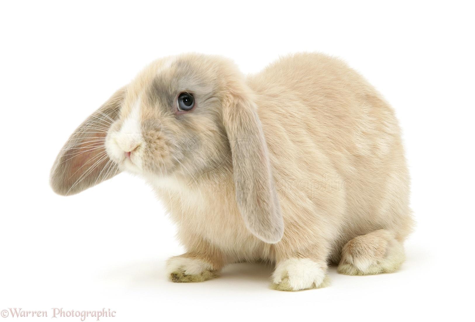 Dwarf lop rabbits - photo#4